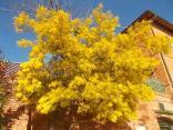 fioritura mimosa 2021 (5)