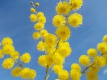fioritura mimosa 2021 (6)