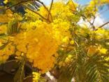 fioritura mimosa 2021 (7)
