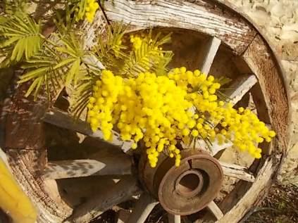 mimosa e ruota di carro