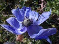anemoni vertine e tramontano (3)