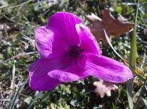 anemoni vertine e tramontano (4)