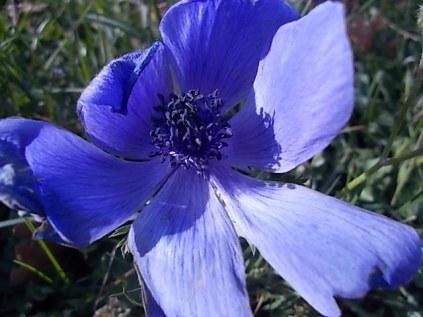 anemoni vertine e tramontano (5)