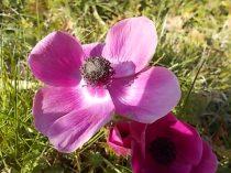 anemoni vertine e tramontano (6)
