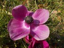 anemoni vertine e tramontano (7)