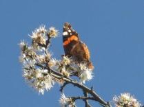 farfalla-e-pruno