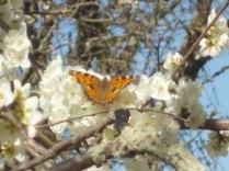 farfalla susino vertine 2021 (1)