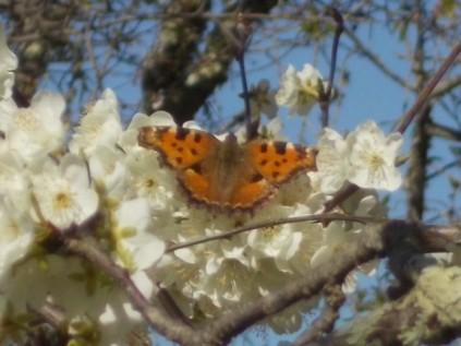 farfalla susino vertine 2021 (2)