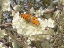 farfalla susino vertine 2021 (3)