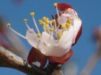fiore-albicocco