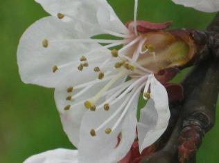 fiore-di-albicocca-5