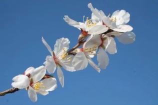 fiore-di-mandorlo-14