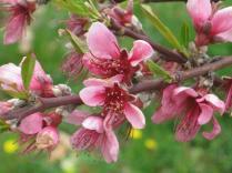 fiore-di-pesco-1
