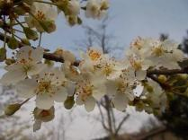 fiore-di-susino