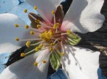fiore mandorlo (1)
