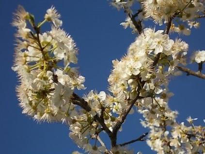 fioritura-susino-vertine-2020-11