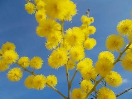 mimosa-della-berardenga