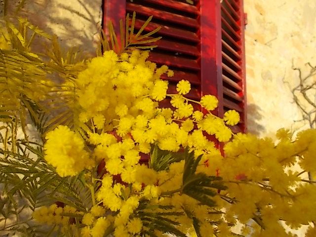 mimosa finestra rossa berardenga