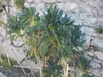 potatura cavolo nero (3)
