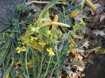 potatura cavolo nero (4)