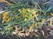 potatura cavolo nero (5)