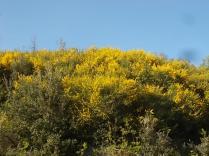 ginestre brolio zona gialla (1)