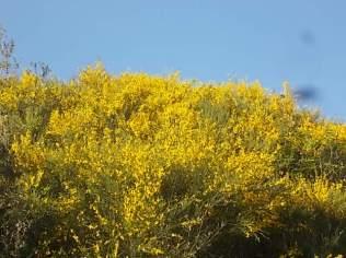 ginestre brolio zona gialla (10)