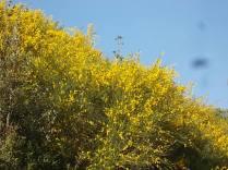 ginestre brolio zona gialla (11)