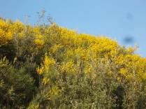 ginestre brolio zona gialla (2)