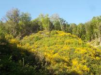 ginestre brolio zona gialla (3)