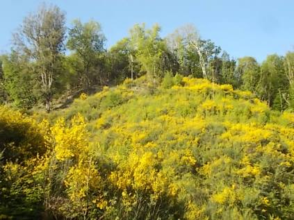 ginestre brolio zona gialla (4)
