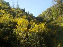 ginestre brolio zona gialla (5)