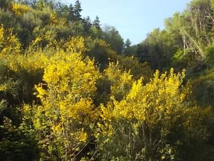 ginestre brolio zona gialla (6)