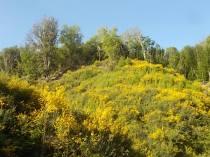 ginestre brolio zona gialla (7)