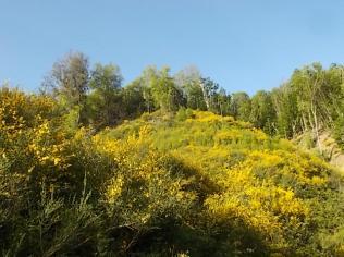 ginestre brolio zona gialla (8)