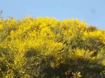 ginestre brolio zona gialla (9)