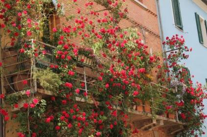 rapolano,san vittore,rose, rondine, amore (1)
