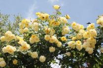 rapolano,san vittore,rose, rondine, amore (10)