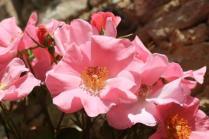 rapolano,san vittore,rose, rondine, amore (19)
