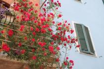 rapolano,san vittore,rose, rondine, amore (3)