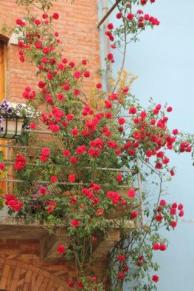 rapolano,san vittore,rose, rondine, amore (32)