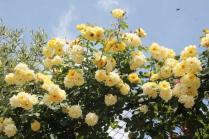 rapolano,san vittore,rose, rondine, amore (9)