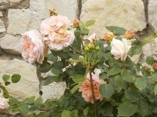 rose e giaggioli vertine (10)