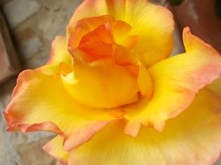 rose e giaggioli vertine (11)
