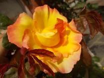 rose e giaggioli vertine (12)