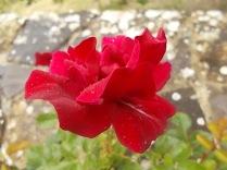 rose e giaggioli vertine (3)