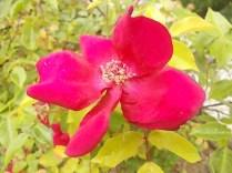 rose e giaggioli vertine (4)