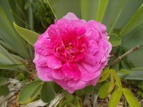 rose e giaggioli vertine (5)