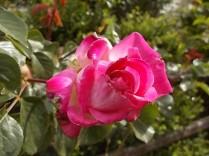 rose e giaggioli vertine (8)