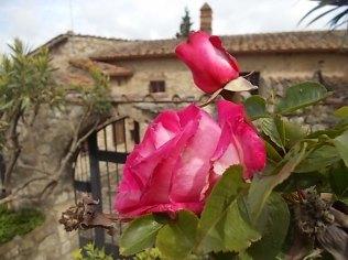 rose e giaggioli vertine (9)